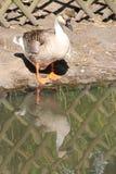 Um ganso está descansando na borda de uma lagoa em um parque em Nantes (França) Fotos de Stock Royalty Free