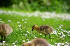 Um ganso está procurando o alimento na cama de flor imagens de stock royalty free