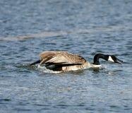 Um ganso gritando de Canadá que deixa de funcionar na lagoa sul fotografia de stock royalty free