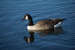 Um ganso na água Imagens de Stock Royalty Free