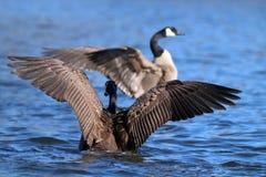 Um ganso selvagem - perseguição Fotografia de Stock Royalty Free