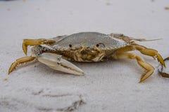 Um-garra Crab3 Fotografia de Stock