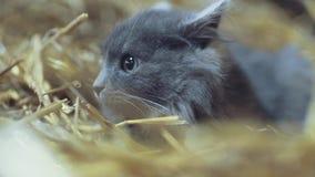 Um gatinho cinzento bonito com olhos verdes esconde no feno, e olha direito à câmera Retrato do gato britânico de Shorthair vídeos de arquivo