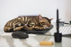 Um gatinho do sono bengal Imagens de Stock