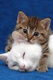 Um gatinho e sua mãe Fotos de Stock