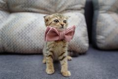 Um gatinho pequeno está sentando-se no sofá em um laço pronto para o ce Fotografia de Stock Royalty Free