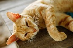 Um gato amarelo-Siamese Foto de Stock Royalty Free