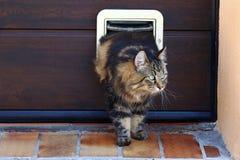Um gato atravessa uma aleta do gato Norueguês Forest Cat na frente de Cat Flap fotografia de stock royalty free