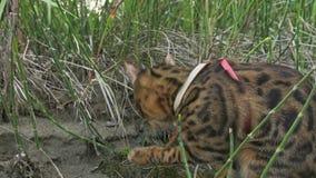 Um gato bengal anda na grama verde A vaquinha de Bengal aprende andar ao longo das tentativas asiáticas do gato de leopardo da fl filme
