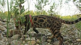Um gato bengal anda na grama verde A vaquinha de Bengal aprende andar ao longo das tentativas asiáticas do gato de leopardo da fl vídeos de arquivo