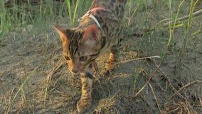 Um gato bengal anda na grama verde A vaquinha de Bengal aprende andar ao longo das tentativas asiáticas do gato de leopardo da fl imagens de stock