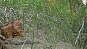 Um gato bengal anda na grama verde A vaquinha de Bengal aprende andar ao longo das tentativas asiáticas do gato de leopardo da fl imagem de stock royalty free
