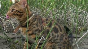 Um gato bengal anda na grama verde A vaquinha de Bengal aprende andar ao longo das tentativas asiáticas do gato de leopardo da fl fotografia de stock