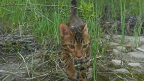 Um gato bengal anda na grama verde A vaquinha de Bengal aprende andar ao longo das tentativas asiáticas do gato de leopardo da fl imagem de stock