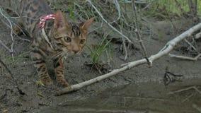 Um gato bengal anda na grama verde A vaquinha de Bengal aprende andar ao longo das tentativas asiáticas do gato de leopardo da fl foto de stock