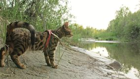 Um gato bengal anda na grama verde A vaquinha de Bengal aprende andar ao longo das tentativas asiáticas do gato de leopardo da fl fotos de stock royalty free