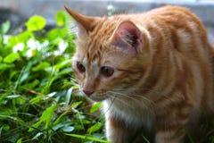 Um gato bonito marrom Fotografia de Stock Royalty Free