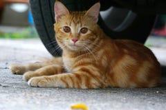 Um gato bonito marrom Imagens de Stock Royalty Free