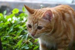 Um gato bonito marrom Imagem de Stock Royalty Free