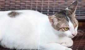 Um gato branco e cinzento ao descansar em uma cadeira de madeira que olha em algum lugar imagem de stock royalty free