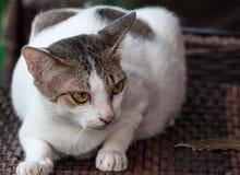 Um gato branco e cinzento ao descansar em uma cadeira de madeira que olha em algum lugar imagens de stock royalty free
