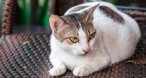 Um gato branco e cinzento ao descansar em uma cadeira de madeira que olha em algum lugar fotos de stock
