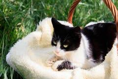Um gato branco-preto bonito que encontra-se em uma cesta imagem de stock