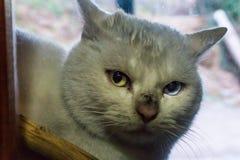 Um gato branco sujo com os olhos coloridos diferentes que olham através da janela Foto de Stock Royalty Free