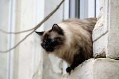 Um gato burmese Fotografia de Stock
