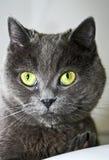 Um gato cinzento Fotografia de Stock Royalty Free