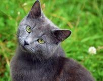 Um gato cinzento da raça de Chartreux no jardim foto de stock