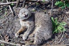 Um gato cinzento encontra-se na terra Imagens de Stock Royalty Free