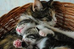Um gato com gatinhos Fotos de Stock