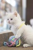 Um gato com seu brinquedo Fotografia de Stock
