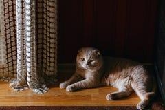 Um gato creme-colorido puro-sangue imagem de stock royalty free
