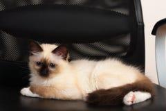 Um gato de Birman do ponto do selo, gatinho do bebê de quatro meses, homem Imagens de Stock Royalty Free