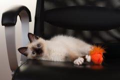 Um gato de Birman do ponto do selo, gatinho do bebê de quatro meses, homem Fotografia de Stock