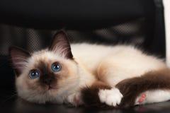 Um gato de Birman do ponto do selo, gatinho do bebê de quatro meses, homem Fotografia de Stock Royalty Free