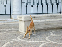 Um gato de bocejo Imagem de Stock