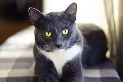 Um gato de casa cinzento com os olhos verdes bonitos imagem de stock royalty free