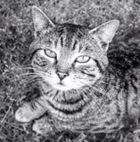 Um gato de gato malhado Imagens de Stock Royalty Free
