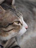 Um gato de gato malhado olhar fixamente Fotos de Stock Royalty Free