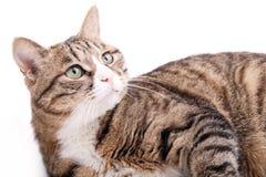 Um gato de leopardo Imagens de Stock