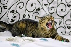 Um gato de gato malhado cinzento é bocejar, miando foto de stock