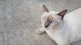 Um gato de Siames Foto de Stock