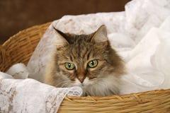 Um gato de tigre listrado marrom que senta-se no laço branco em uma cesta Fotografia de Stock Royalty Free