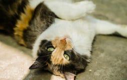 Um gato disperso que encontra-se na terra, fundo cinzento fotos de stock