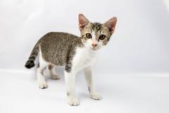Um gato do bichano foto de stock