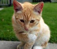 Um gato do gengibre imagem de stock royalty free