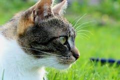 Um gato doméstico que olha em sua rapina e que pensa como execute o ataque imagens de stock